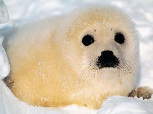 A baby seal
